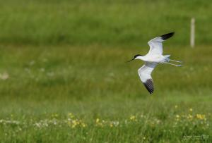 Photo d'avocette en vol