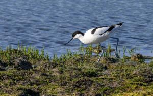 Belle photo d'avocette élégante