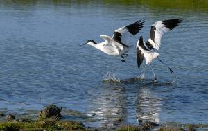 Photo avocettes