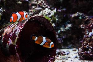 Photo poisson clown aquarium le 7ème continent