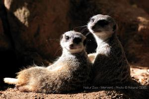 Photo couple de suricate zoo de mervent Natur'Zoo