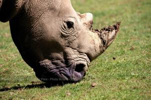 Photo tete rhino planete sauvage port saint pere