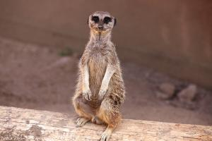 Photo suricate debout zoo de mervent Natur'Zoo