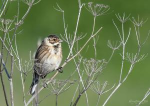 Photo Bruant des roseaux Emberiza schoeniclus Common Reed Bunting