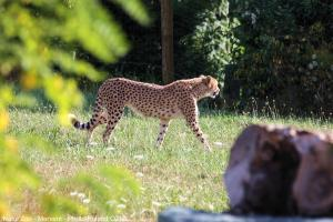 Photo guepard zoo de mervent Natur'Zoo