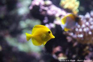 Photo poisson jaune exotique Aquarium la Rochelle