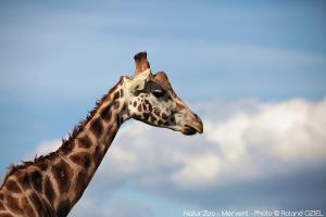 Photo tete de girafe zoo de mervent Natur'Zoo