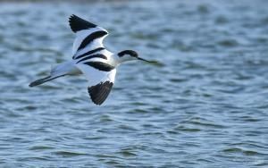 Photo avocette élégante en vol