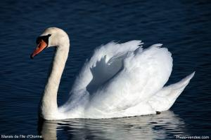 Photo cygne gros plan