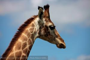 Photo tete girafe planete sauvage port saint pere