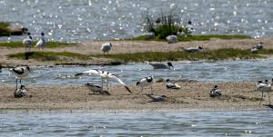 Photo groupe d'avocettes