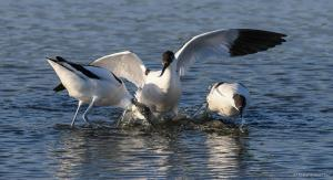 Photo avocettes en bataille