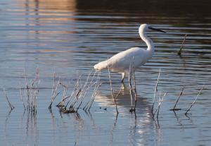 Photo aigrette reserve pointe d'arcay