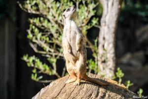 Photo de suricate eco zoo des sables