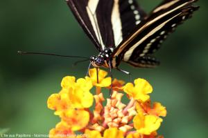 Photo papillon papilio demodocus ile aux papillons