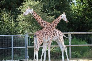 Photo girafes zoo de mervent Natur'Zoo