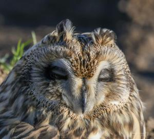Photo en vente de hibou des marais