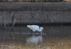 Photo aigrette en train de chasser