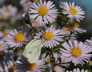Photo papillon blanc butinant