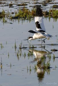 Photo d'avocette élégante
