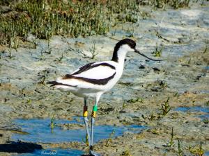 Photo avocette