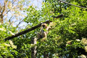 Photo gibbon de l'ecozoo des sables