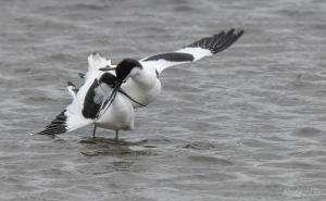 Photo avocette élégante