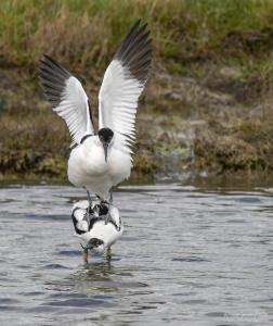 Photo accouplement d'avocette élégante