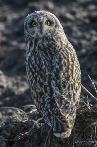 Photo de dos d'un hibou des marais