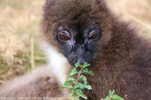 Photo jeune lemur zoo de mervent Natur'Zoo