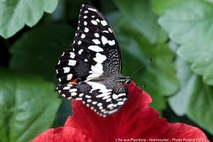 Photo Papilio demodocus Ile aux Papillons Noirmoutier