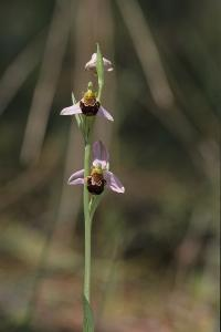 Photo ophrys abeille ophrys apifera
