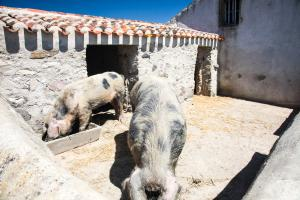 Photo de cochons au Daviaud