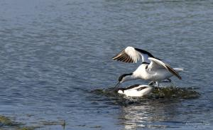 Photo d'avocette en train de s'accoupler