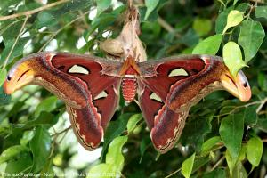 Photo attacus atlas Ile aux Papillons Noirmoutier