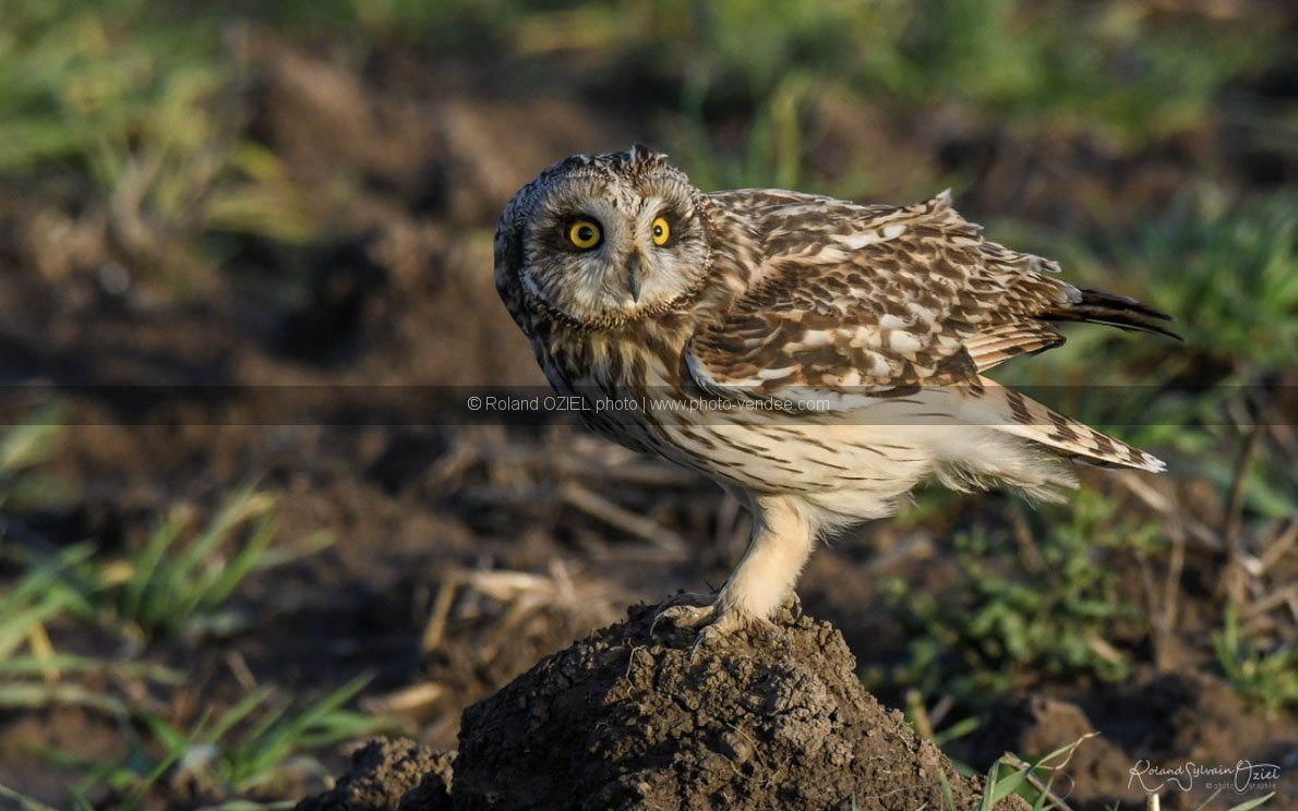 Photo gratuite de hibou des marais