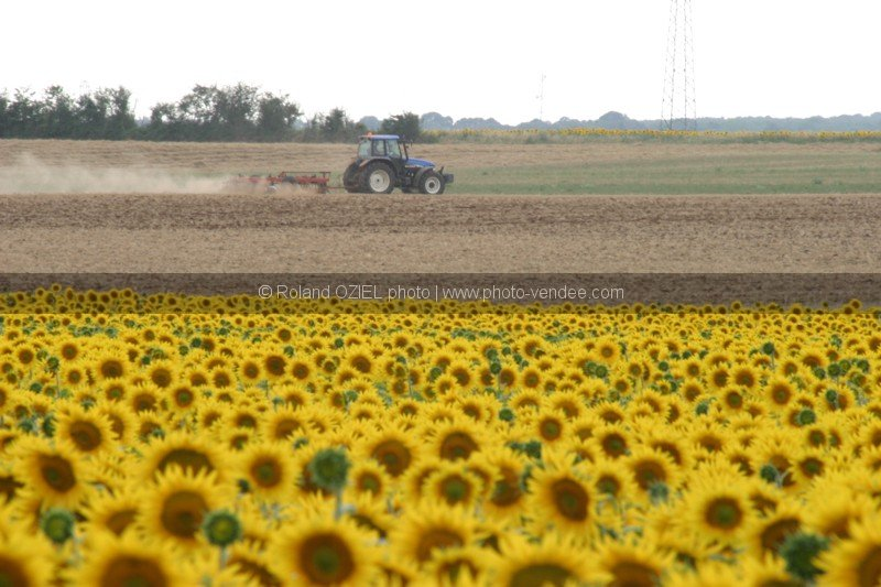 photo champ tournesol