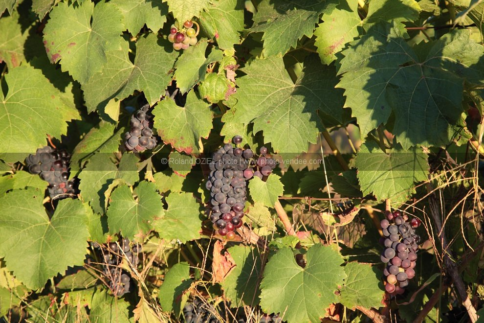 Photo feuille de vigne et grappe de raisin