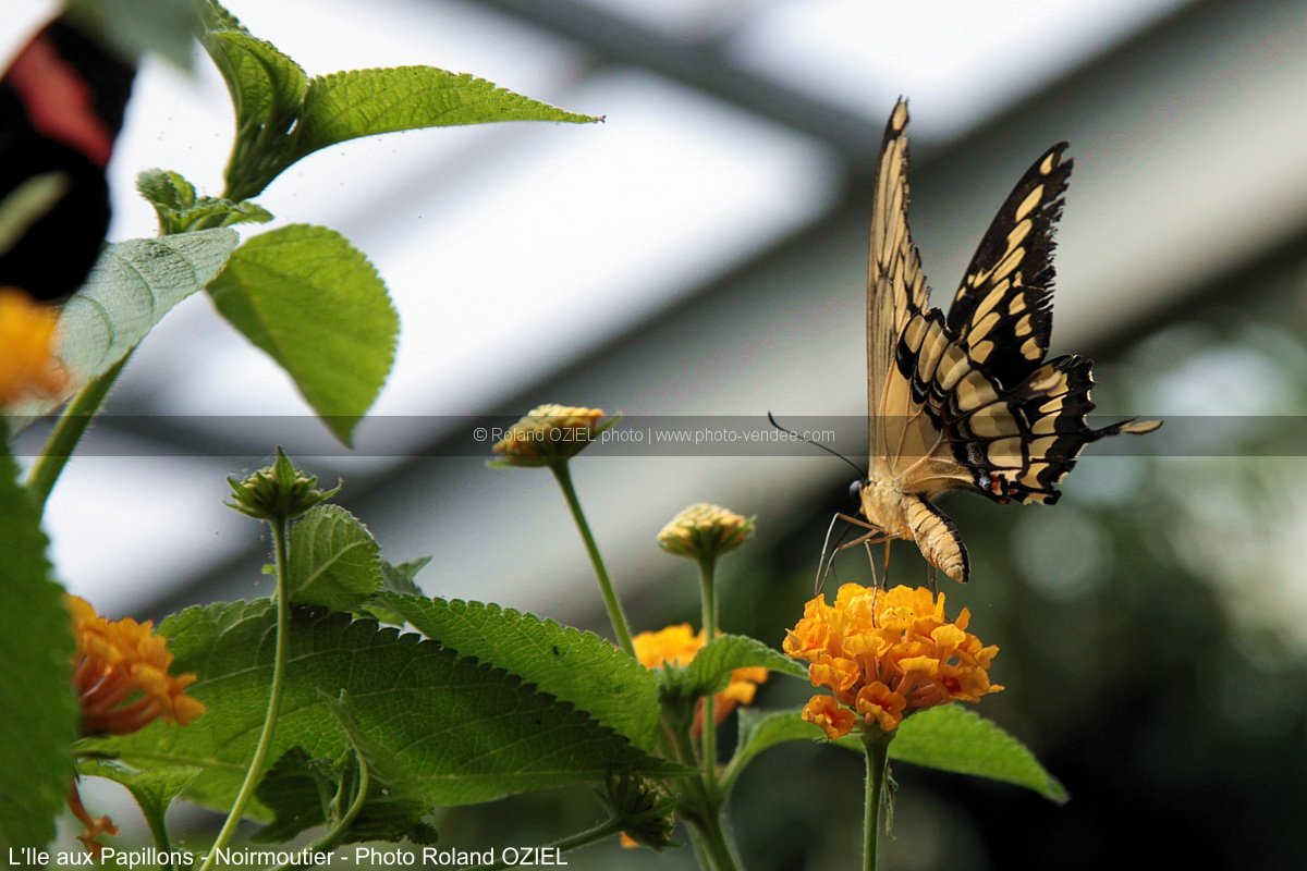 Photo papillon parthenos sylvia ile aux papillons