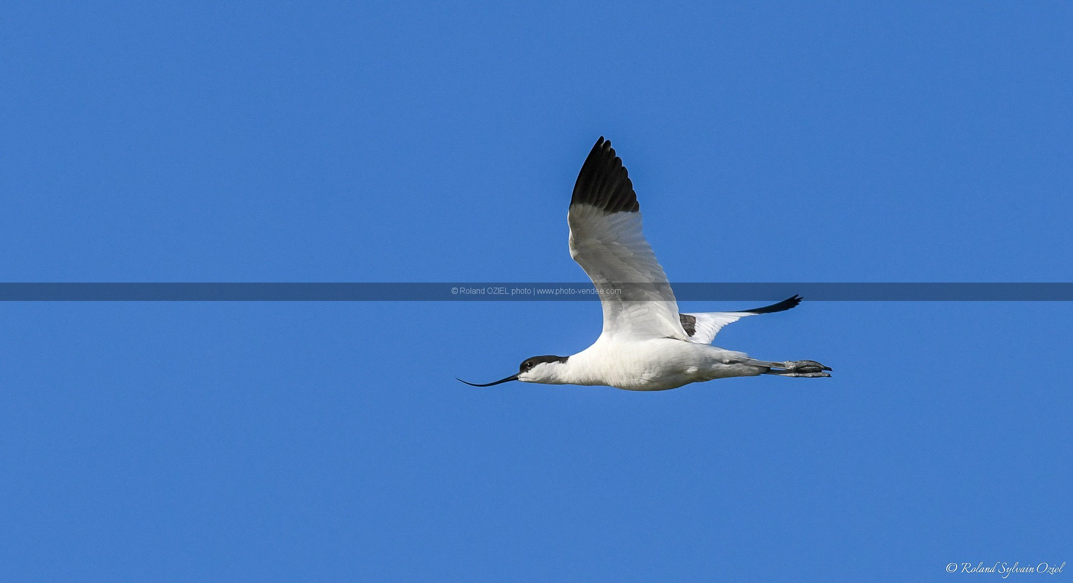 Photo avocette en vol
