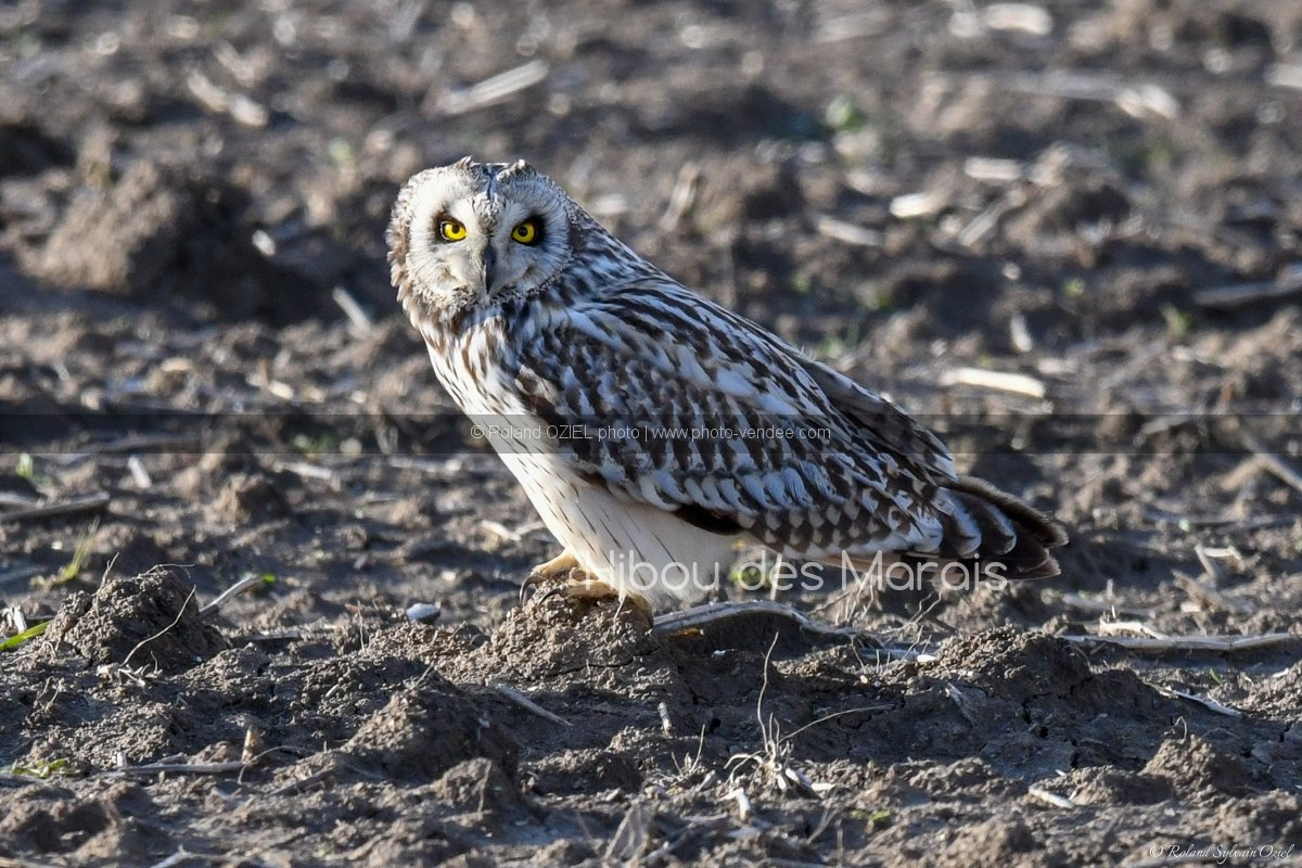 Photo hibou des marais