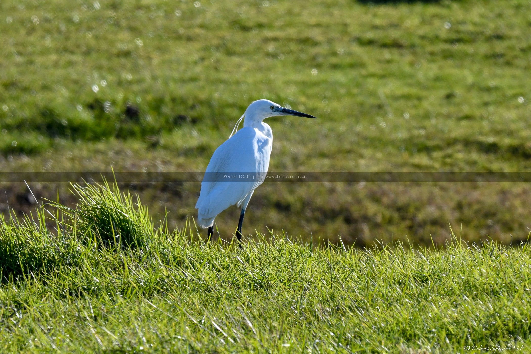 Photo aigrette garzette