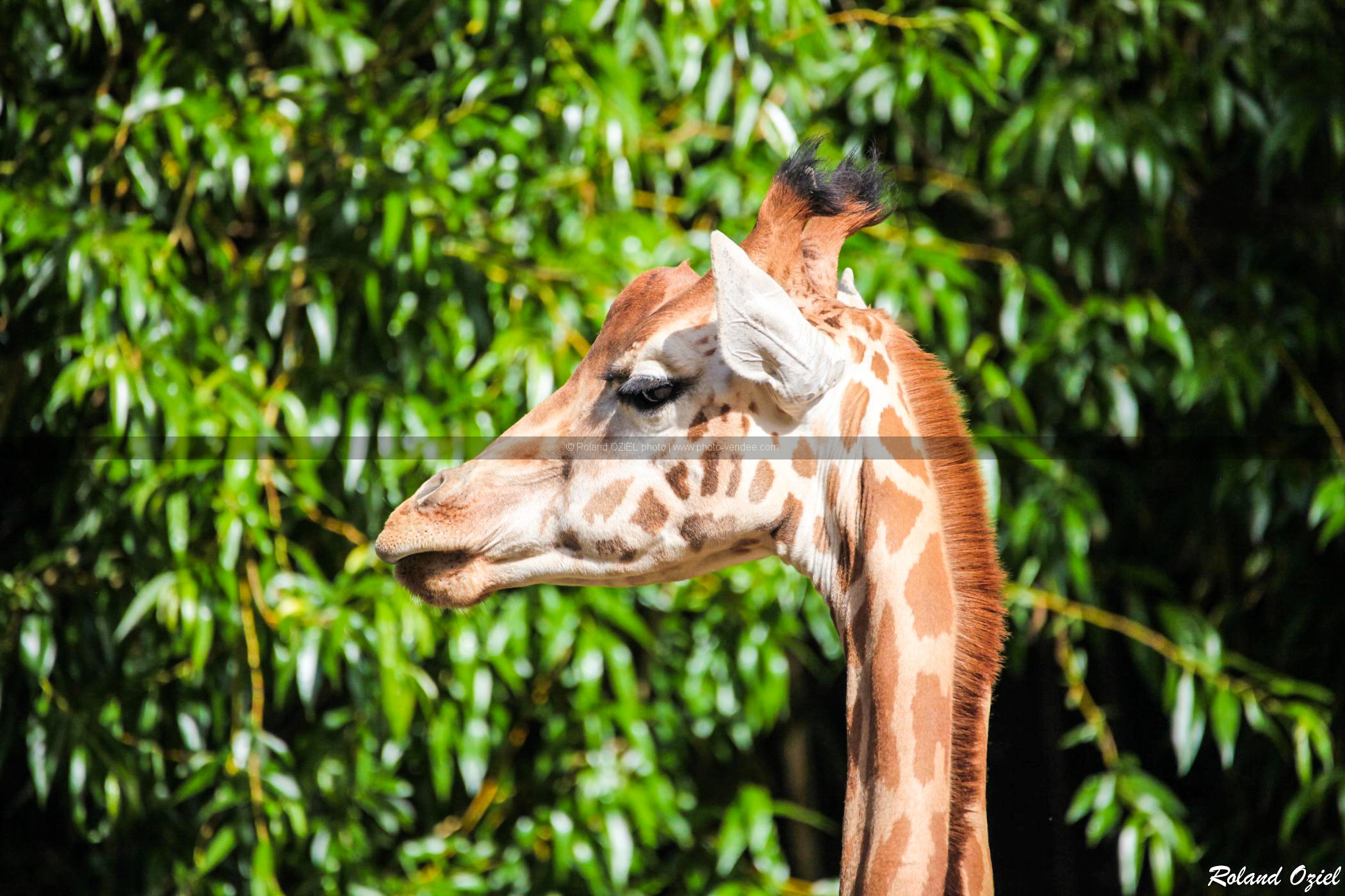 photo girafe tete Zoo des Sables d'Olonne