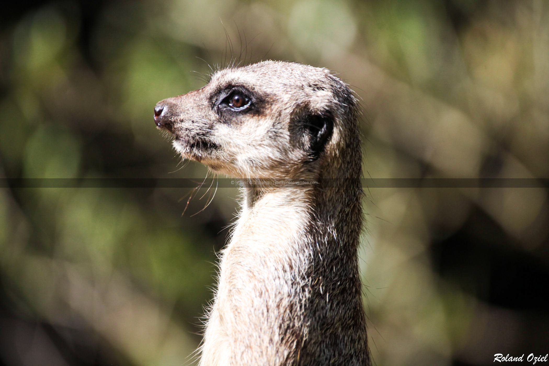 Photo tete de suricate