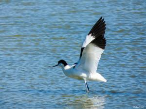 Photo Avocette le Daviaud Ecomusée du Marais Breton vendéen