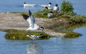 Photo accouplement avocettes