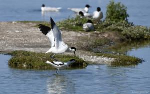 Photo couple d'avocette élégante