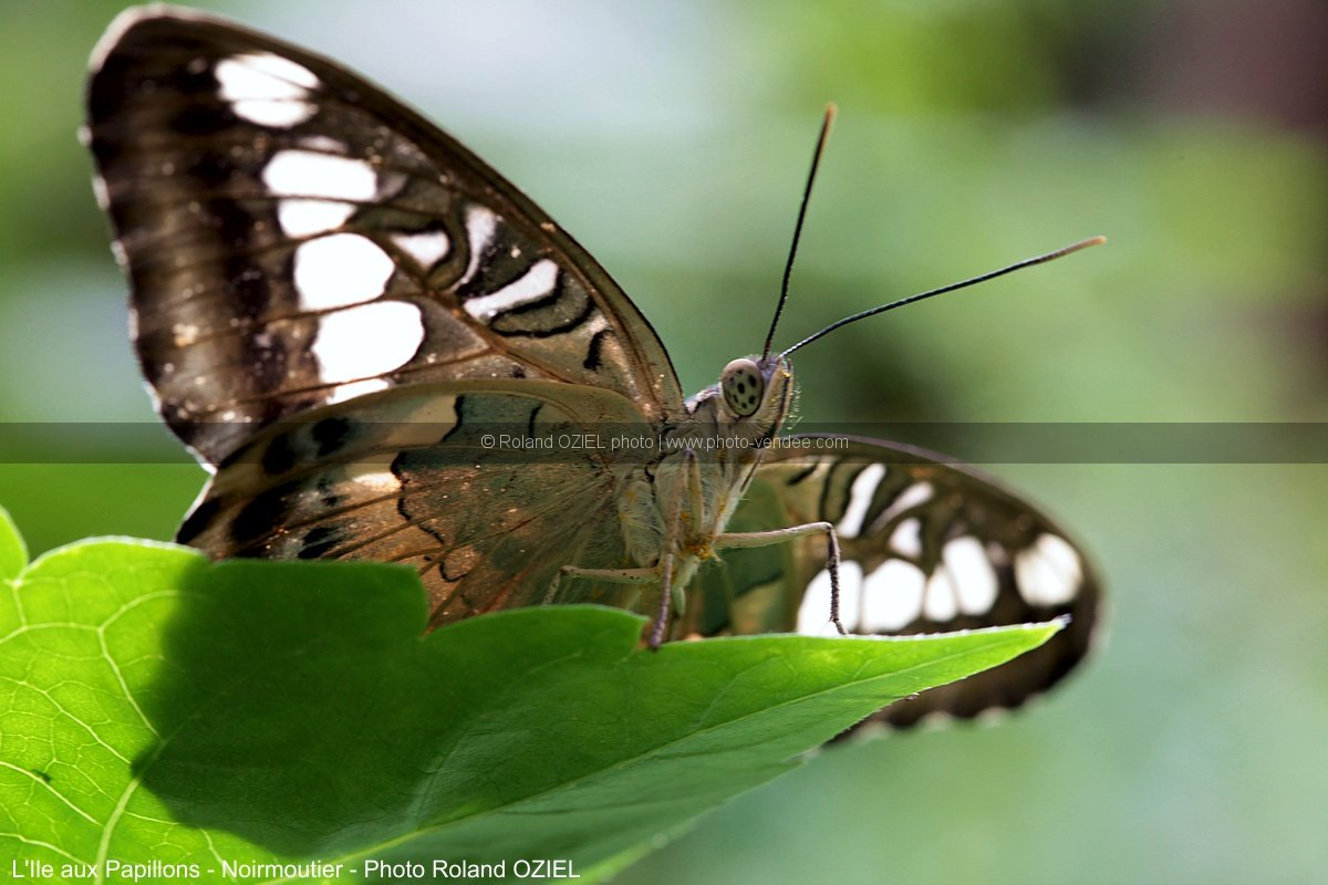 Photo parthenos sylvia Ile aux Papillons