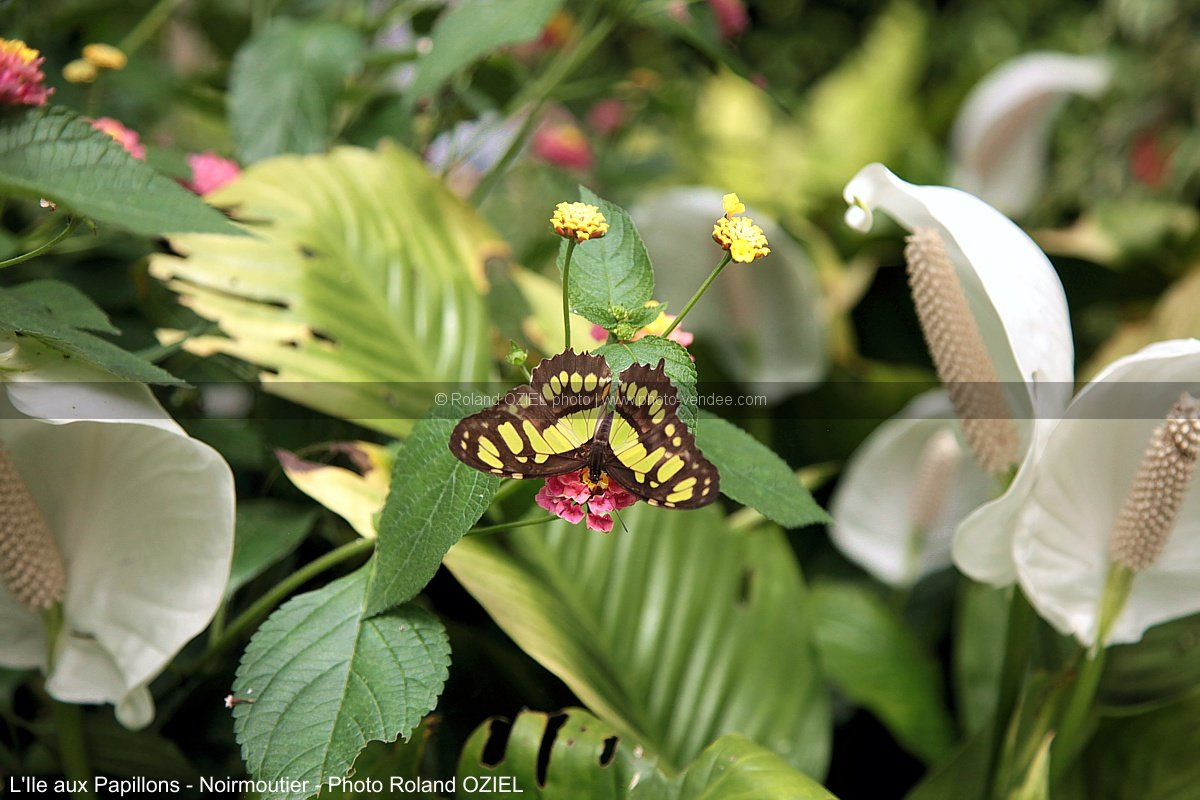 Photo d'un papillon sur plan tropicale Ile aux Papillonx Noirmoutier